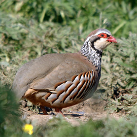 PRODUCTS FOR PARTRIDGES AND QUAILS
